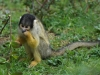 Apenheul - squirrel monkey