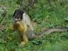 Apenheul - squirrel monkey
