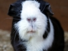 Missy the Guinea Pig