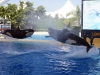 Orcas at Loro